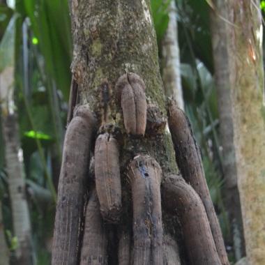 Cocos masculinos