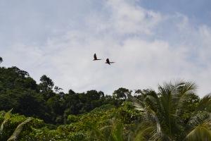 Una pareja de Guacamayas sobrevolando Corcovado