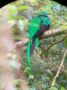 El Quetzal con su preciosa cola verde iridiscente