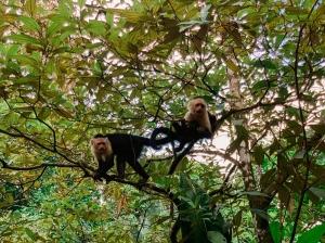 Dos monos capuchino