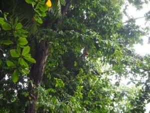 Un mono araña desayunando cerca de nuestra cabaña
