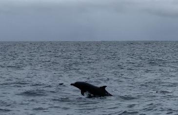 Delfín manchado