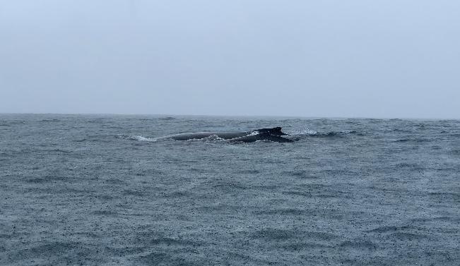 Una cría de ballena jorobada y su madre saliendo a respirar